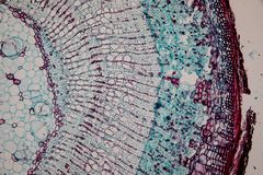 Cross-section Dicot, Monocot and Root of Plant Stem under the microscope. royalty free stock photo