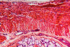 Cross section esophagus dog. Cell- science background. Esophagus of the dog- cross section Stock Image