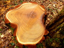 Cross section of a felled acacia tree Stock Images
