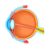 Cross section of human eye stock illustration