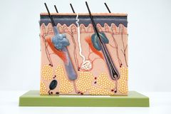 Cross section human skin tissue model. For education royalty free stock images