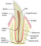 Cross section of incisor tooth Royalty Free Stock Photography