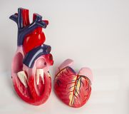Cross section of Isolated model of an internal human heart stock photos