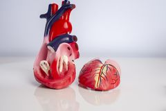 Cross section of Isolated model of an internal human heart royalty free stock image