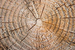 Cross section log texture. Light old wooden Stock Photos