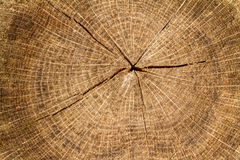 Cross section log texture Stock Images