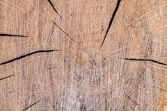 Cross section of oak tree, sample. Annual rings on surface, cracks and detailed texture, background royalty free stock image
