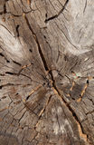 Cross-section of the old tree carpenter ant-eaten Royalty Free Stock Photos