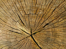 Cross-section of an old tree trunk. As a bckground Royalty Free Stock Image