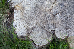 Cross Section of Old Tree Trunk Surrounded With Grass Nettle Royalty Free Stock Image
