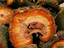 Cross section through plum tree trunk displaying cortex, orange coloured wood and wood grain rings. Stored together with other fragments of trunks Stock Photos