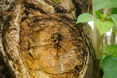 The cross section of the round wood Royalty Free Stock Photography