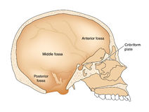 Cross section through skull. Drawing of the skull showing the internal surface, with the posterior, middle and anterior fossae labeled Stock Photography