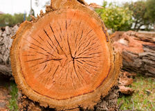 Cross section of a timber log after cutting or fel Stock Photo