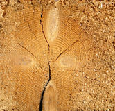 Cross section of tree Royalty Free Stock Photo