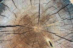 Cross section tree Royalty Free Stock Images