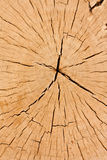 Cross section tree stump Royalty Free Stock Image