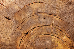 Cross-section of an tree trunk Royalty Free Stock Photography