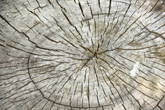 Cross section of tree trunk Royalty Free Stock Photography