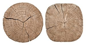 Cross section of tree trunk. Showing growth rings on white background Stock Image