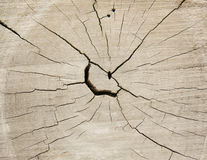 Cross Section of a Tree Trunk Royalty Free Stock Photo