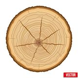 Cross section of tree trunk. Vector. Stock Photos