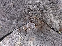 cross section of the tree Royalty Free Stock Photo