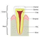 Cross section of a typical tooth. Drawing to show the main anatomical structures of a typical incisor tooth, including the bone of the jaw and gum Stock Photo