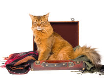Cross Somali cat inside brown suitcase. Somali cat sitting inside brown suitcase, on white background stock photography