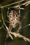 Cross spider 1 Stock Images