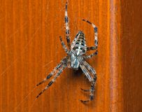 Cross spider Royalty Free Stock Image