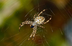 Cross spider. On web closeup royalty free stock photo