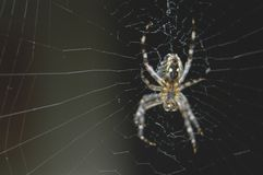 Cross spider. In cobweb Royalty Free Stock Image