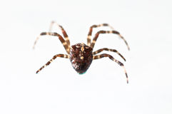 Cross spider. Stock Images