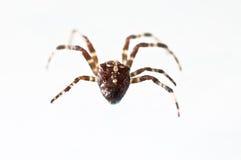 Cross spider. Some dangerous cross spider found in my garden Stock Images