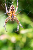Cross spider Royalty Free Stock Photography