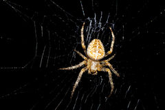 Cross spider Stock Photo