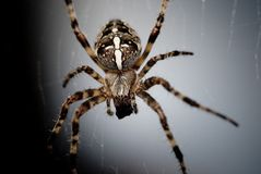 Cross spider. A cross spider waiting for lunch Stock Photo
