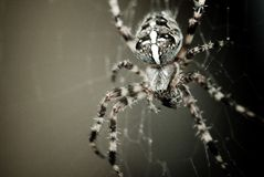 Cross spider. A cross spider waiting for lunch Royalty Free Stock Photos