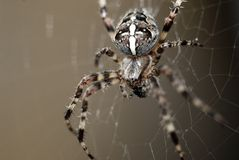 Cross spider stock photography