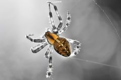 The Cross Spider Araneus diadematus black and white background isolated color Stock Photos