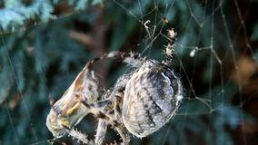 Cross spider caught wasp in his web. Cross spider Araneus diadematus caught wasp in his web stock footage