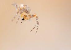 Cross spider Araneus diadematus close-up. Bokeh, shallow depth Stock Images