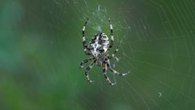 Cross Spider Araneus diadematus female in the center of the web. Macro stock footage