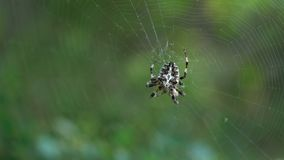 Cross Spider Araneus diadematus female in the center of the web. Macro stock video footage