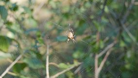 Cross Spider Araneus diadematus hunting day and weave on web in the forest. Cross Spider Araneus diadematus hunting day and weave on a web in the forest stock video footage