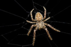 Cross Spider (Araneus diadematus) at night. Cross Spider (Araneus diadematus) in the wild Stock Images