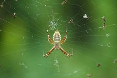 Cross spider Royalty Free Stock Photos