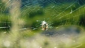 Cross spider araneus sits in the center of the web on a sunny day in nature in summer. Cross spider araneus sits in the center of the web on a sunny day in stock video footage