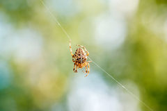 Cross spider in a beautiful web Royalty Free Stock Photos